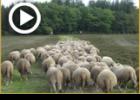 """מעשה בבעש""""ט והרועה צאן האוקראיני"""