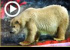 """מעשה בבעש""""ט והדוב הלבן"""
